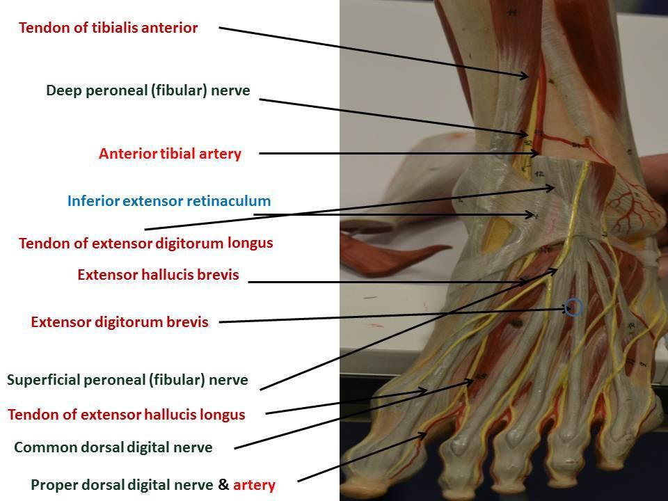 Nerves & Vasculature of the Lower Limb | YEDİTEPE ANATOMY LAB